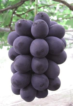 ブドウ ナガノパープル PVP 驚きの値段で 1本 接木苗 入荷予定:2021年11月下旬頃 卓出