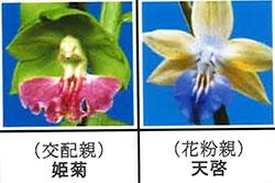 エビネ蘭 馴化苗 4本入り 交配親 姫菊× 花粉親 天啓 【K14】