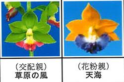 エビネ蘭 馴化苗 4本入り 交配親 草原の風× 花粉親 天海 【K21】