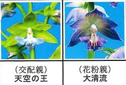 エビネ蘭 馴化苗 4本入り 交配親 天空の王× 花粉親 大清流 【K6】