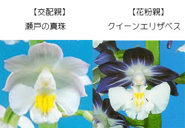 エビネ蘭12本入り 瓶苗  交配親 瀬戸の真珠× 花粉親 クイーンエリザベス