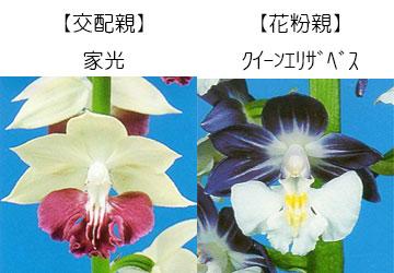 エビネ蘭12本入り 瓶苗  交配親 家光× 花粉親 クイーンエリザベス