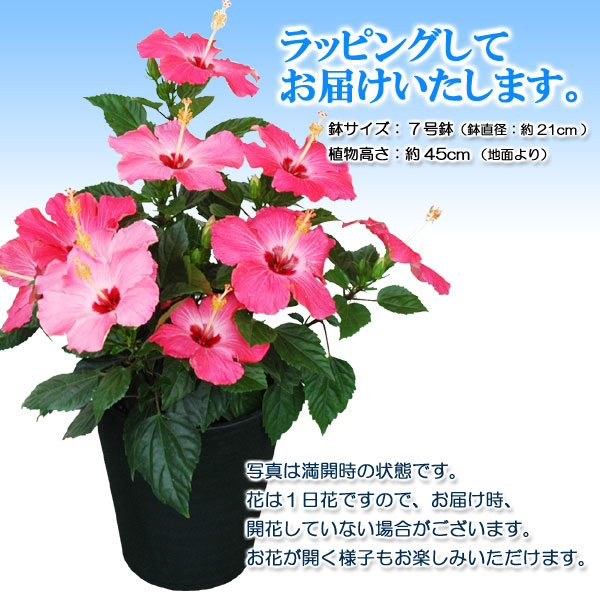 Kajoen Large Bowl Hibiscus 7 Potted Plant Gifts Lady
