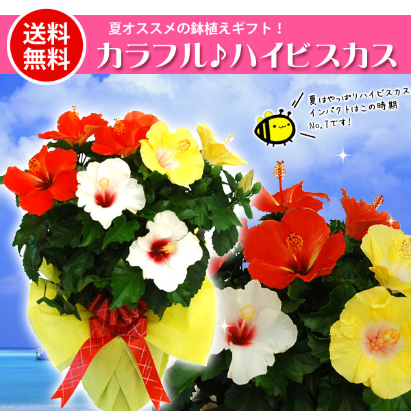 Kajoen Colorful 3 Hibiscus No 6 Potted Plant Gifts Ossmeflower