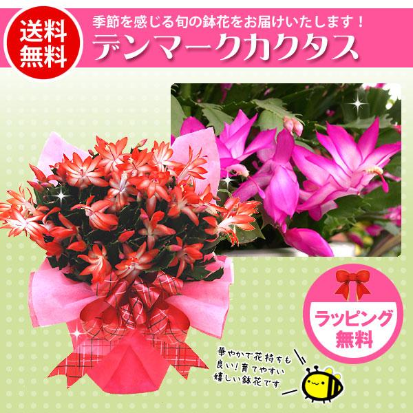 Kajoen rakuten global market its seasonal potted flowers gift its seasonal potted flowers gift denmark cactus red pink 10 11 mightylinksfo