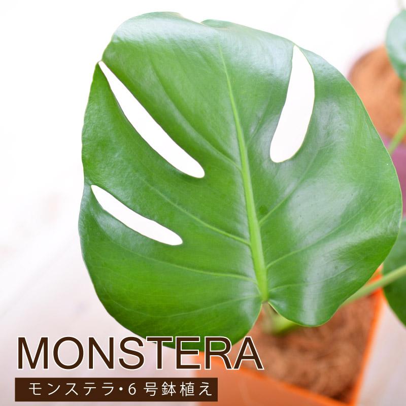 お洒落 ハートの形の葉っぱに切れ込みが入る人気の観葉植物 観葉植物 WEB限定 モンステラ 鉢植え 鉢が選べる