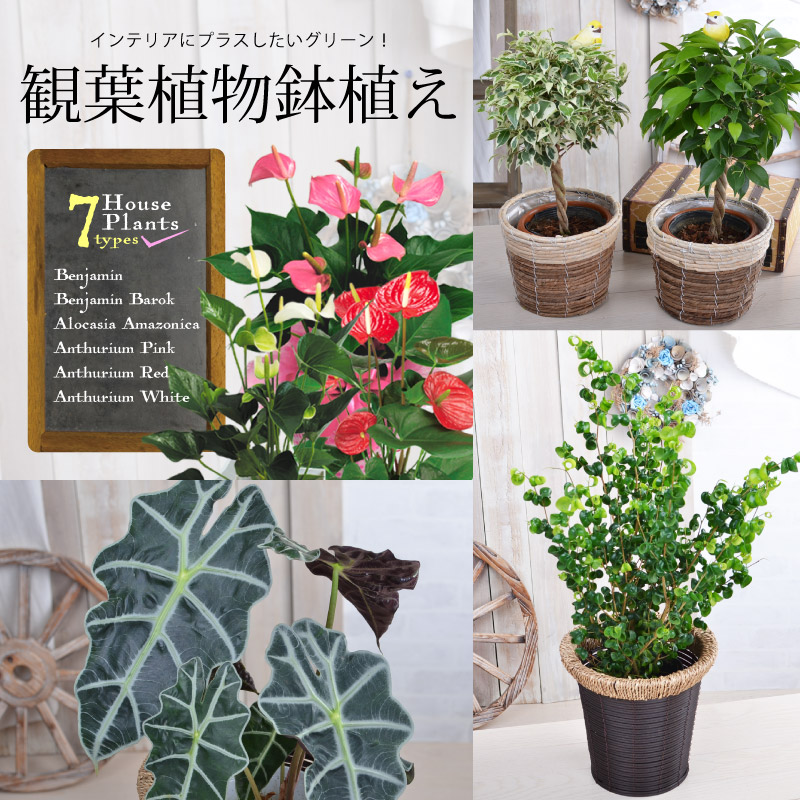 Choose Plants Gift Of Benjamin Anthurium Are Characterized As Birthday Gifts Housewarming And Grand Opening Celebration