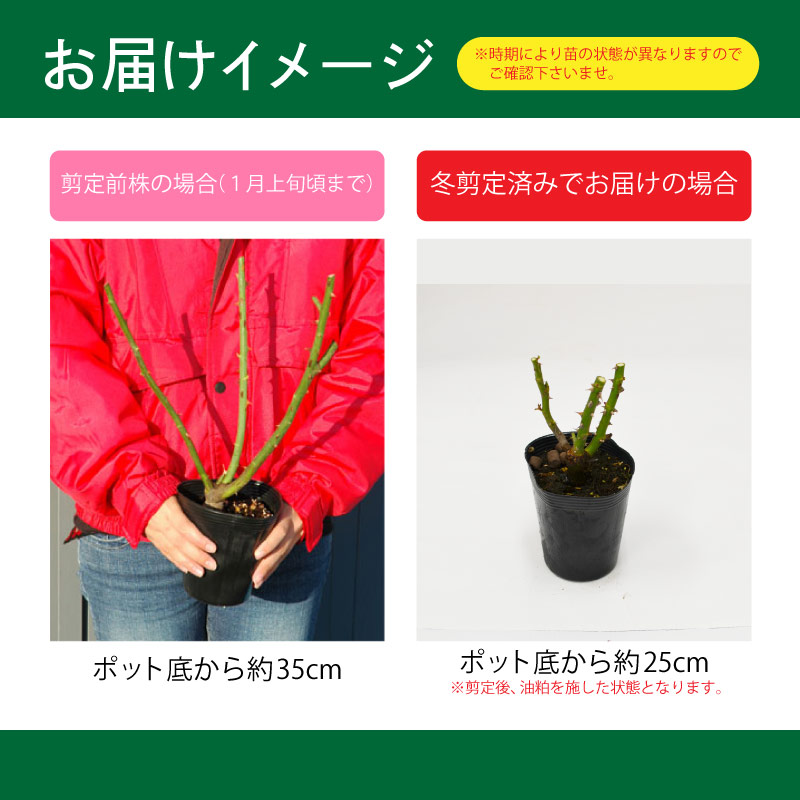 推进价格 1000 日元 pokkiri。 玫瑰苗二年级学生龟分支 / MAS 波拉 (白色) 05P05Sep15