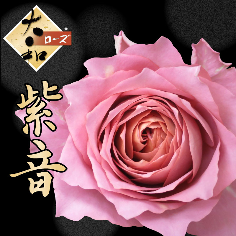 Kajoen Shipped Potted Plant Only Varieties Daiwa Rose Two Years