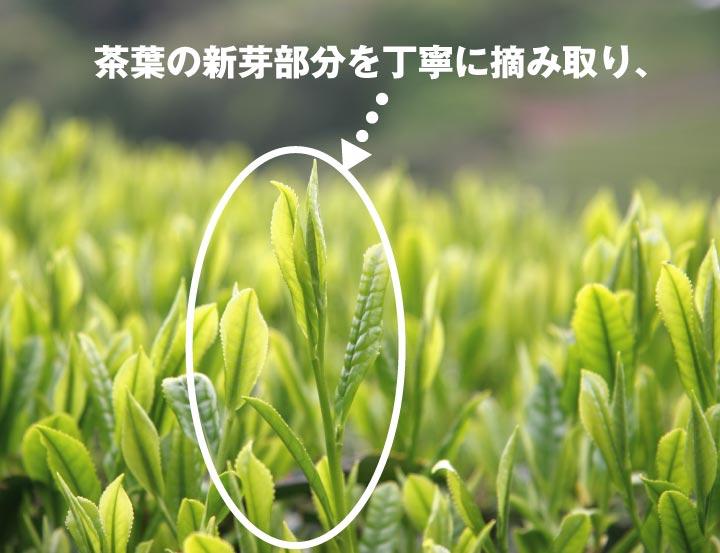 独自の深蒸し製法掛川茶/深蒸し茶