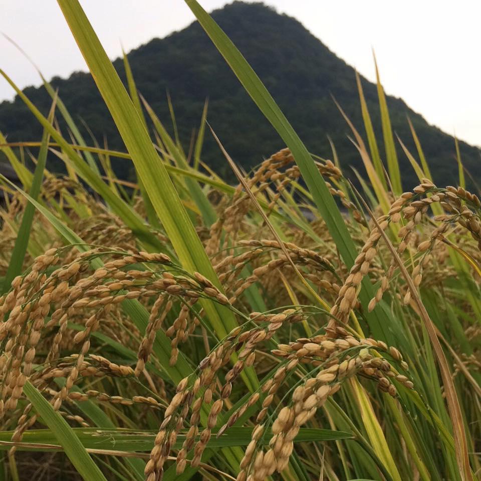 限定生産 2020年10月収穫 新米 自然栽培 超目玉 朝日米 玄米 無化学肥料 実物 在来品種 10kg 農薬不使用 無農薬