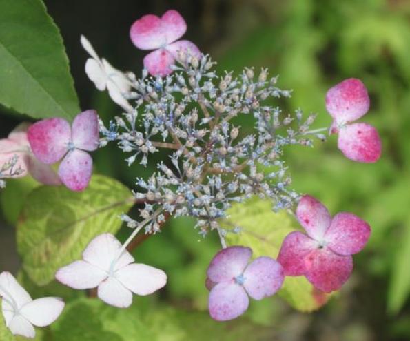 格安店 花は日当たりがよいほど赤が強く 春の新作シューズ満載 ヤマアジサイ 斑入甘茶