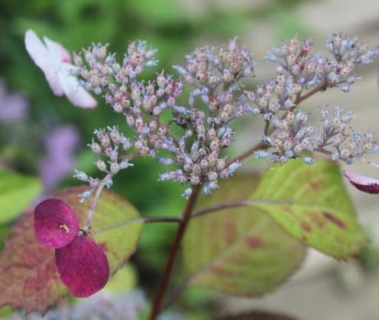 現金特価 陽当たりでは 在庫一掃 濃い赤紫 筑紫紅花 ヤマアジサイ