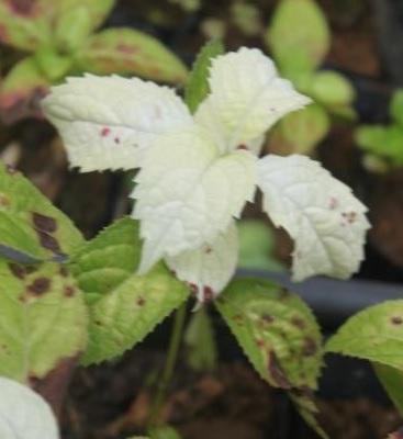 7月頃から枝先の葉が黄白色に変化 ヤマアジサイ 卸直営 '紅の白雪' 好評