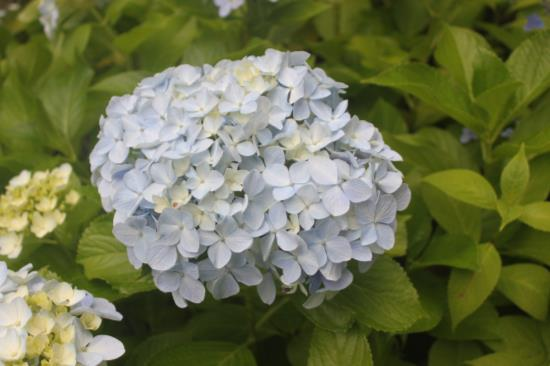 ガクアジサイのテマリ咲きの代表 アジサイ 購入 オタクサ ホンアジサイ 最安値に挑戦