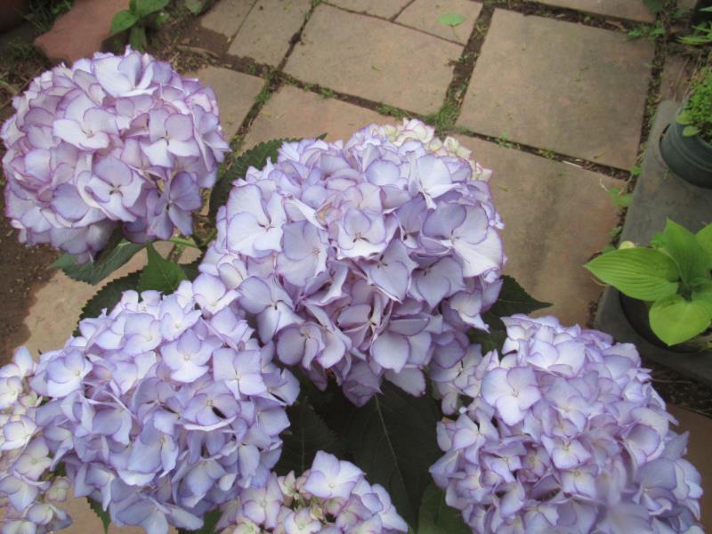 テマリ咲きもとても人気 美品 ガクアジサイ 'アデュラ' いよいよ人気ブランド