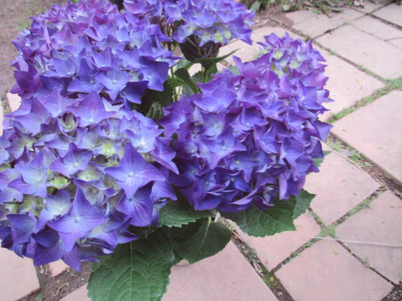 お気に入 深い紫の花 ガクアジサイ 'ディープパープル' 高品質