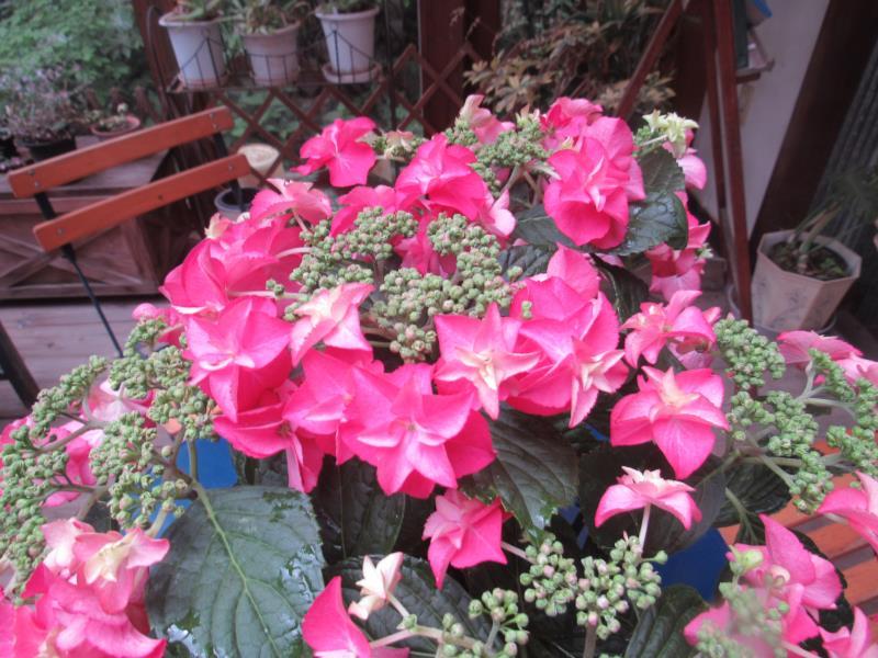 往復送料無料 濃い赤色の八重咲き ガクアジサイ '火の鳥' 着後レビューで 送料無料