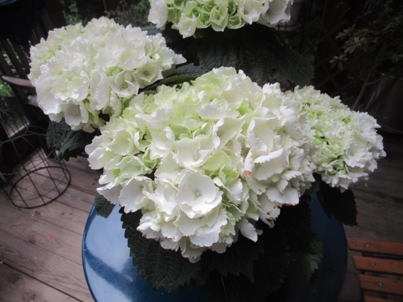 世界の人気ブランド 装飾花が大形 ガクアジサイ 倉庫 'クリスタルパレスホワイト'