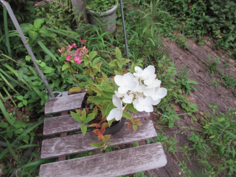 白に映えるピンクの花 ノリウツギ 'ティクルドピンク' 驚きの価格が実現 オープニング 大放出セール
