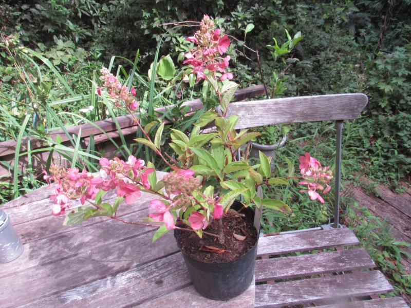 咲きはじめは白色⇒ピンク色⇒濃桃色の花色変化 低価格化 ノリウツギ 'ピンキーウィンキー' 国内送料無料