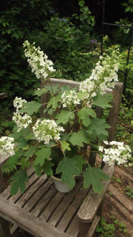 美しく八重咲きの品種 カシワバアジサイ フレイク' 新作 お金を節約 大人気 'スノー