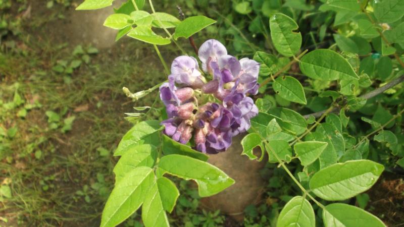 咲き終わるころに開花 アメリカフジ 'ロング 送料無料新品 35%OFF パープル' ウッド