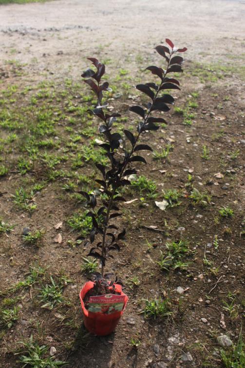 サルスベリの品種物 15cm ポット サルスベリ 税込 直営店 P15.0 ルージュ' 'ブラックパール