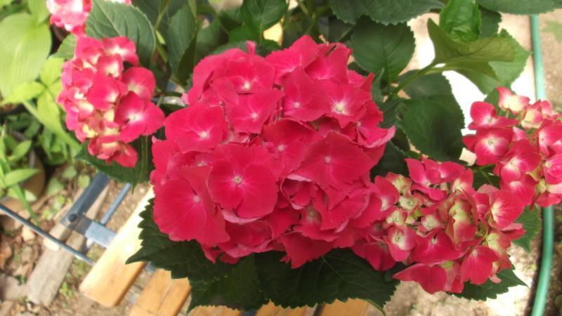 2020モデル 小ぶりな集合花 ガクアジサイ 結婚祝い ' 'スピーディレッド