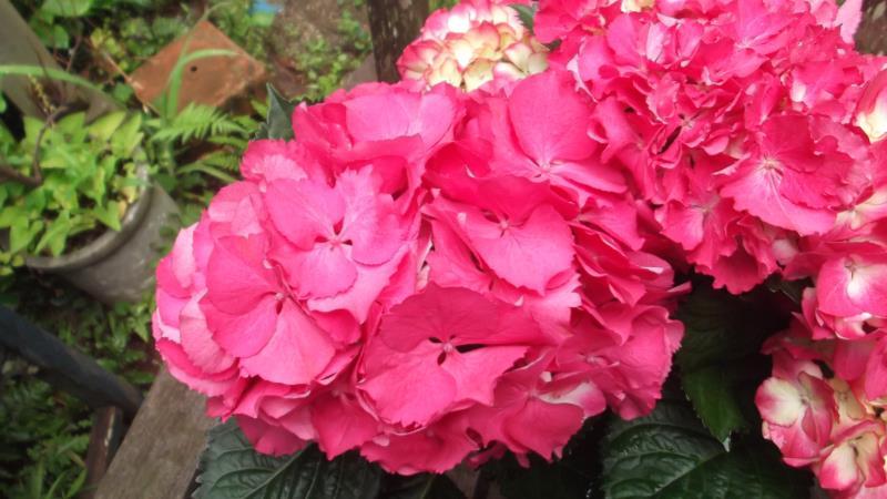 装飾花は大きい ガクアジサイ 送料無料カード決済可能 プレゼント 'バラディア'