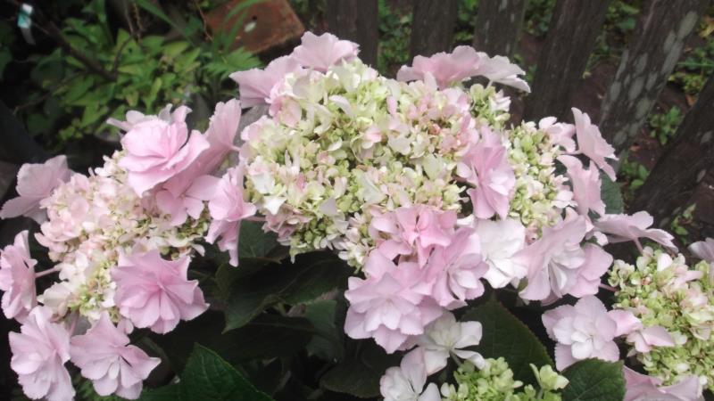 最後はテマリ咲き ガクアジサイ'ビバーチェ' 誕生日 激安価格と即納で通信販売 お祝い