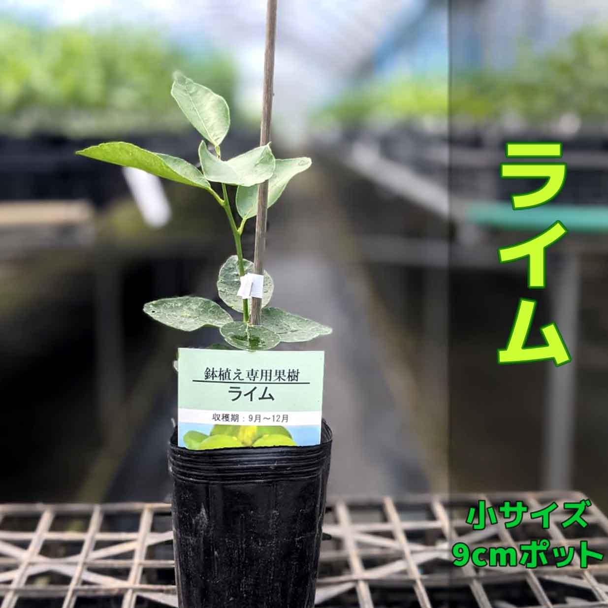 ベランダでライム 鉢植えでマンションやアパートのベランダでもお手軽に育てられる ライムの苗木です 日本三大名産地 福岡県田主丸産 ライム らいむ 苗木 1本で実る 信頼 鉢植え 接ぎ木苗 9cmポット ポット植え 激安通販販売 簡単 柑橘 小 果樹 家庭菜園 タヒチライム