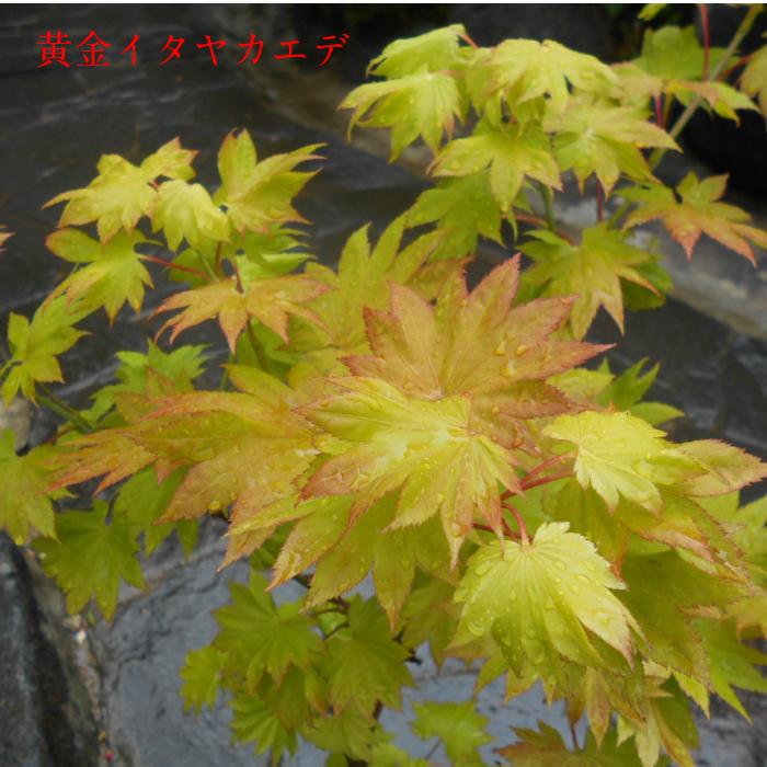 希少もみじ 黄金イタヤカエデ 植え木 庭木送料無料ですが、北海道、離島、沖縄不可