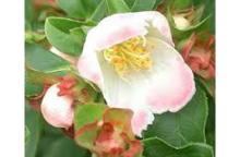 ピンク花シャラの木 夜明け前 ダイナミック樹形 特大株   春咲き 植木