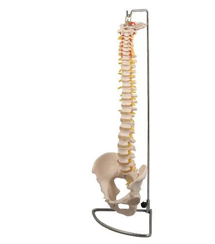 脊柱模型アーテック 実験キット 自由研究 /生物/夏休み/小学生/自然観察 人体・からだ・模型・標本