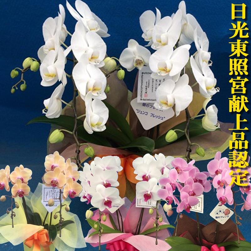 ☆農林水産大臣賞受賞☆ミディ胡蝶蘭(コチョウラン)2本立ち【選べる4色】■送料無料■お供え