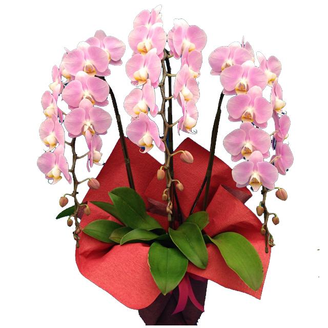 胡蝶蘭(コチョウラン)ピンク3本立ち30輪以上【ご予約対象商品】【送料無料】(11)