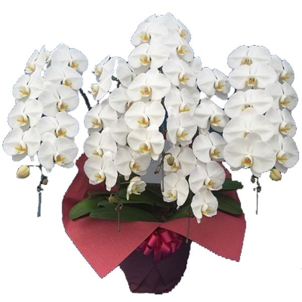 胡蝶蘭(コチョウラン)大輪白5本立ち65輪以上【ご予約対象商品】【送料無料】(16)