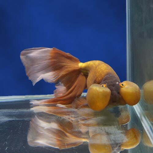 【金魚宝典】茶水泡眼 3才(21cm±)☆ベールテール系の、大変珍しいタイプです!☆★高級セレクト個体★