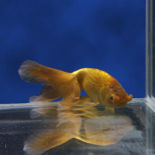 【金魚宝典】茶丹鳳 2才(13.5cm±)☆中国宮廷金魚の代表品種です!☆★高級セレクト個体★