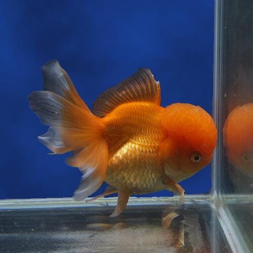 【金魚宝典】レッドバルーン高頭オランダ 明け2才(12.5cm±)★セレクト個体★
