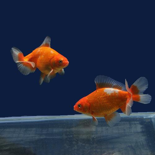 【金魚宝典】地金 明け2才(8cm±)5匹セット★スタッフがセレクトします!★