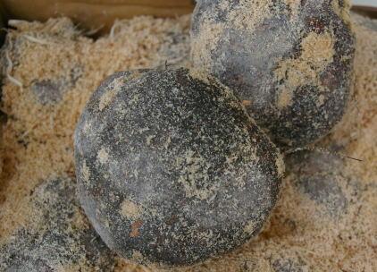 今だけスーパーセール限定 丹波篠山 たんばささやま 特産 丹波 山の芋 1個は約380g~500g つくね芋 祝日