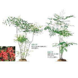 オンリーワン 植栽・樹形美 ナンテン(赤実) UN6-TJNA