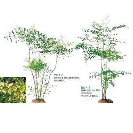 オンリーワン 植栽・樹形美 ナンテン(白実) UN6-TJNS