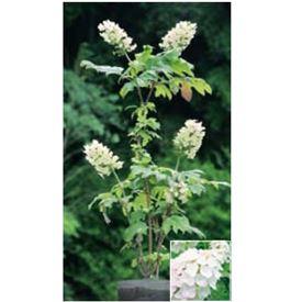オンリーワン 植栽・美しい花 アジサイ・カシワバアジサイ(花が咲いていない状態) WP6-TUKA
