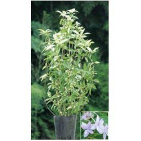 オンリーワン 植栽・美しい花 アジサイ・シチダンカ(花が咲いていない状態) 『七段花』 WP6-TUASD