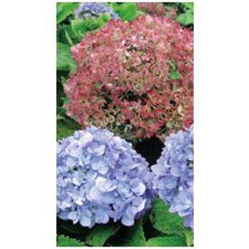 オンリーワン 植栽・美しい花 アジサイ・アジサイ(四季咲性)(花が咲いていない状態) WP6-TUASI