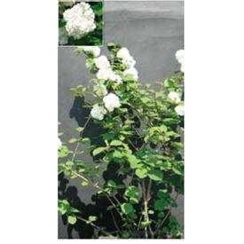 オンリーワン 植栽・美しい花 オオデマリ UN6-TUOM