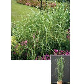 オンリーワン 植栽・個性派植物 ススキ・タカノハススキ  KJ6-TSTS